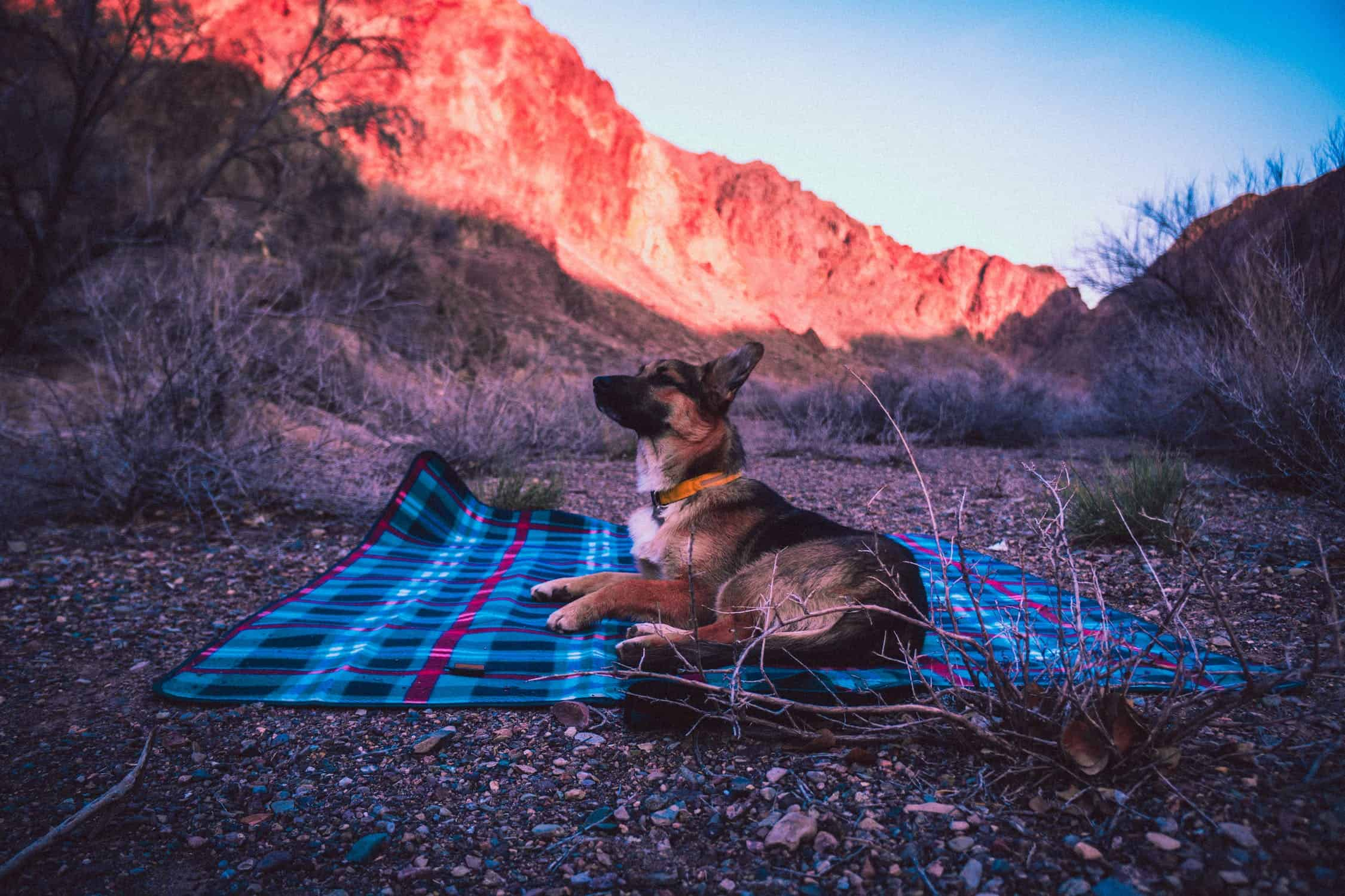 german shepherd dog resting on a picnic blanket